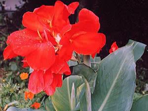 Flower canna
