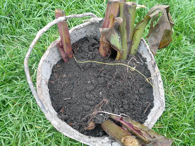 Cannas after flowering – digging out