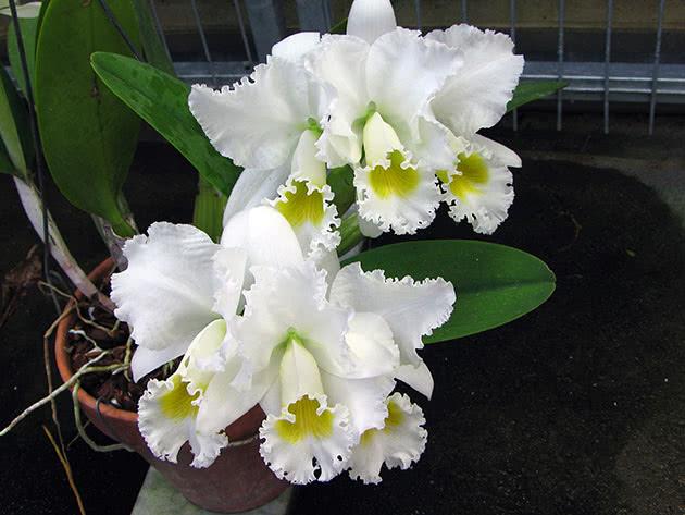 Каттлея триана разн. белая (Cattleya Trianaei var. alba)