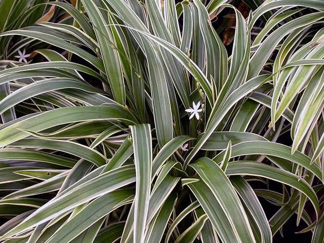Цветок хлорофитум