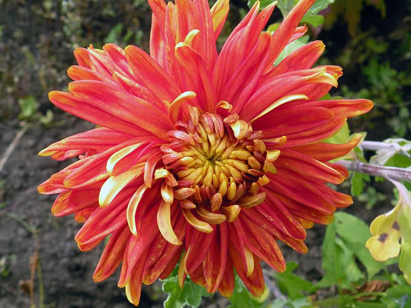 Хризантема великоквіткова Том Пірс