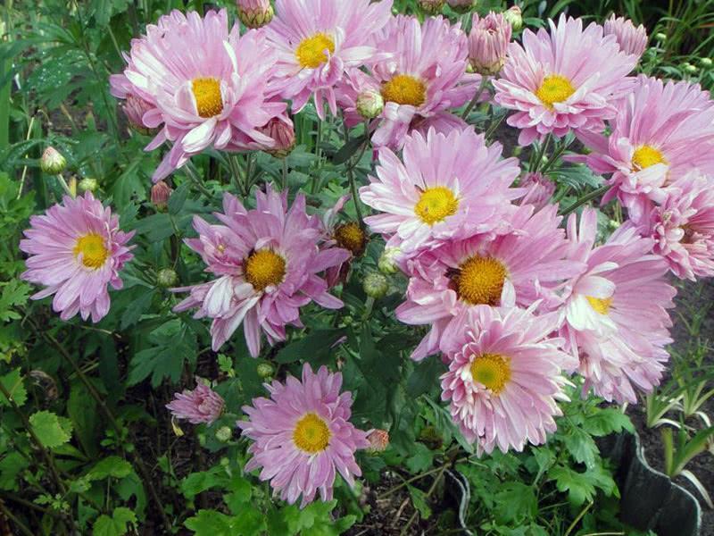 Хризантема середньоквіткова Рожева ромашка