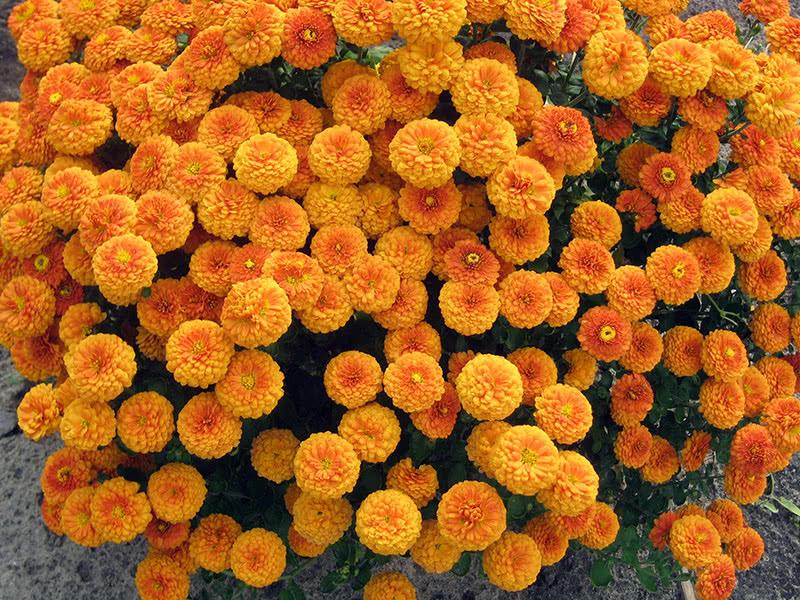 Хризантема дрібноквіткова Мультіфлора