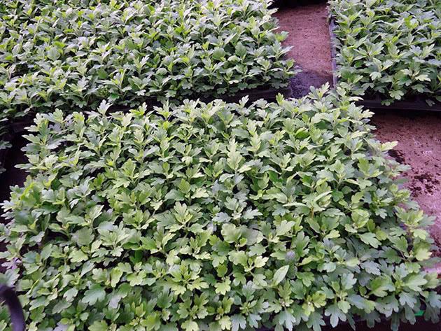 Саджанці хризантеми
