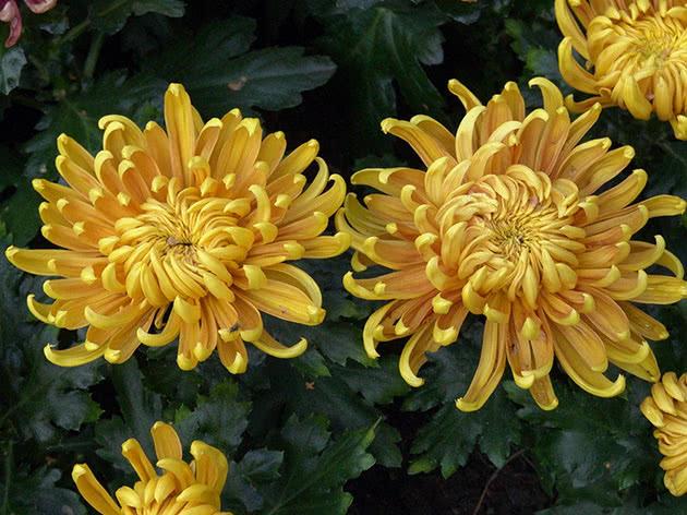 Хризантема садова
