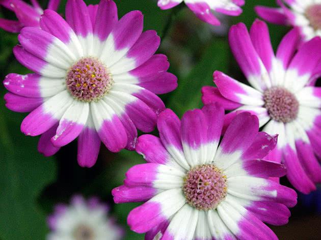 Plant of cineraria