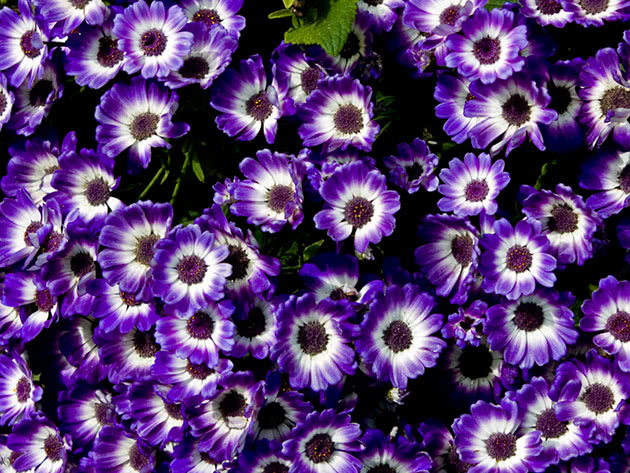 Flower of cineraria