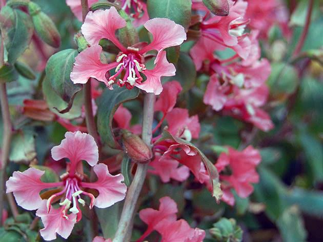 Квітуча кларкія