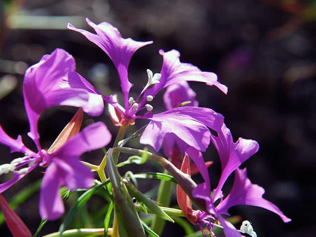 Цвітіння кларкії