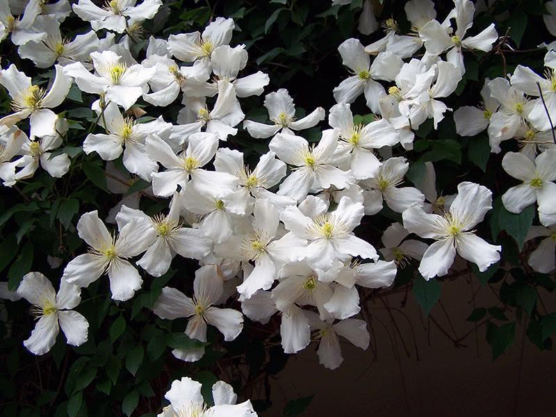 Клематис горный (Монтана) Grandiflora