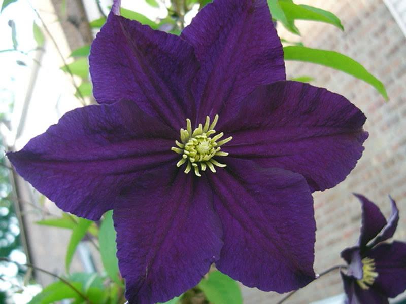 Клематис фиолетовый (Витицелла) Viola