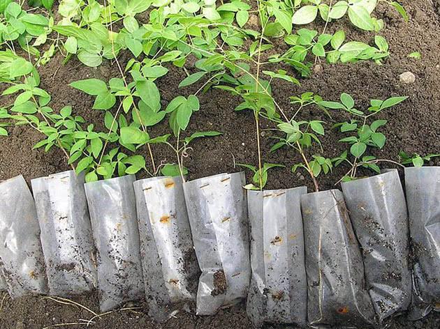 Clematis seedlings