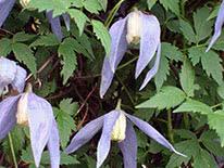Alpine clematis (Alpina) Artagena Franka