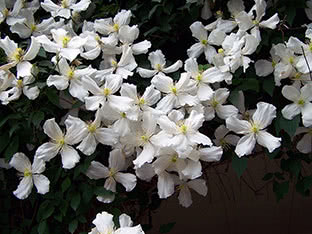 Mountain clematis (clematis montana) Grandiflora