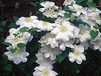 Clematis lanuginosa Madame le Coultre