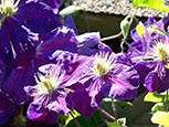 Clematis of Jackmanii group Gipsy Queen