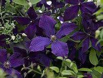 Purple clematis (clematis viticella) Polish Spirit
