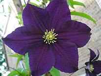 Purple clematis (clematis viticella) Viola