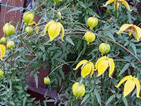 Tangutica group of clematis (golden clematis)