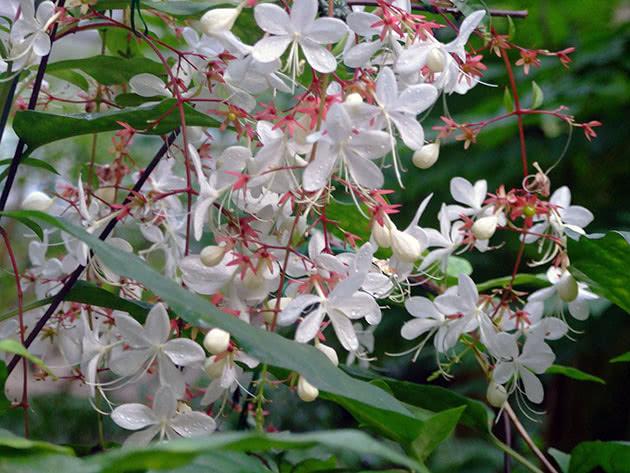 Цветущий клеродендрум