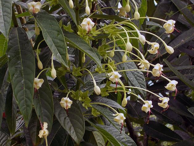Креродендрум цветет