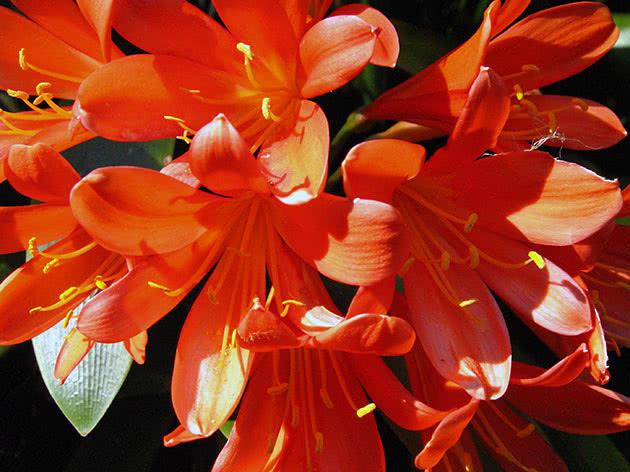 Кливия или кафрская лилия