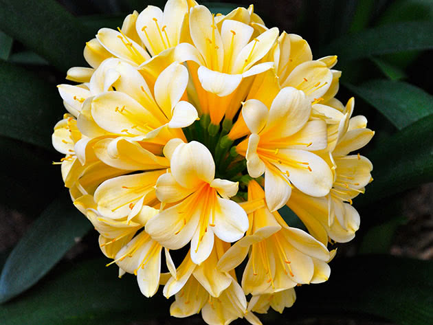 Желто-белая кливия