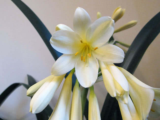 Цветок белой кливии