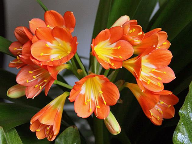 Цветки кливии
