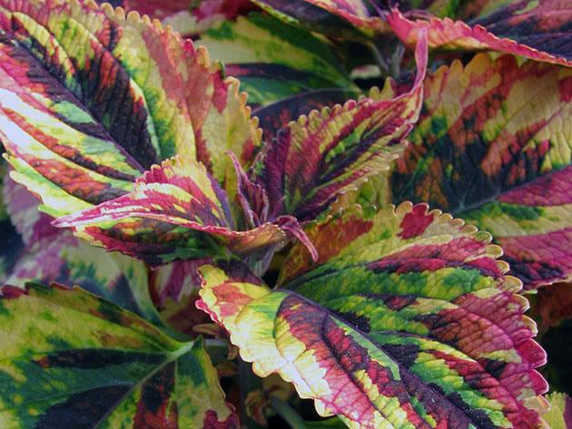 Колеус трехцветный / Coleus Tricolor