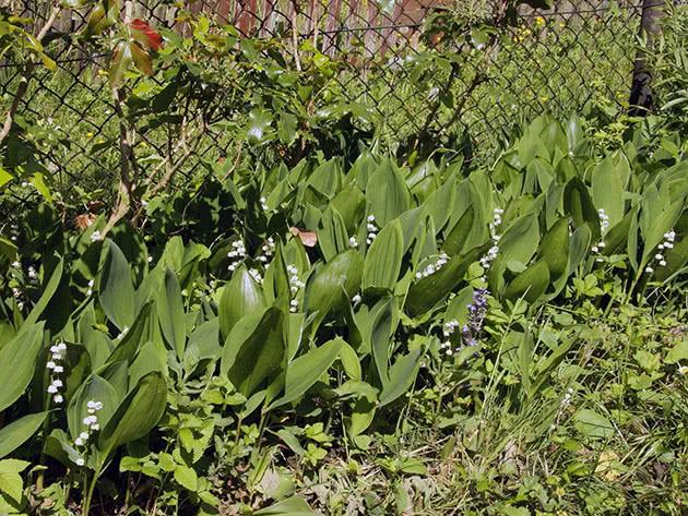 Выращивание ландышей в саду