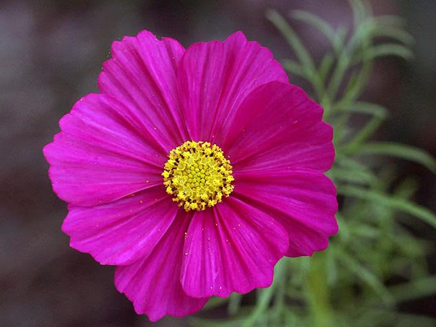 Квітка космеї