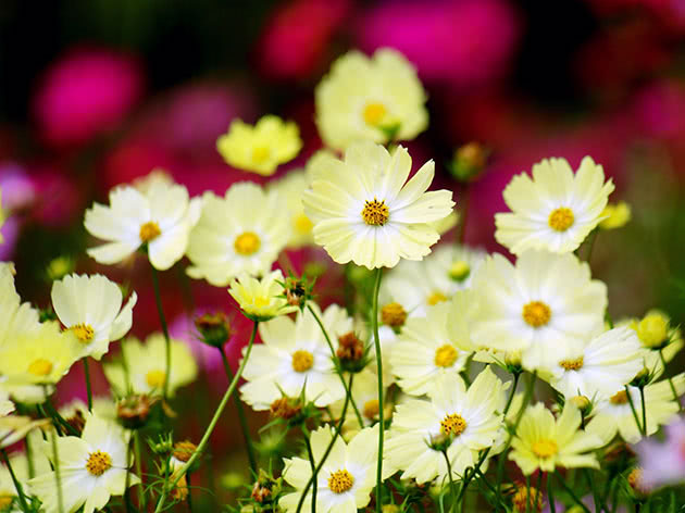 Цветение космеи в саду