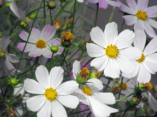 Квіти космея