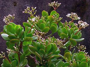 Квітка крассула (товстянка)