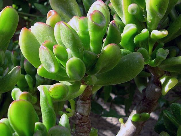Крассула портулаковая / Crassula portulacea