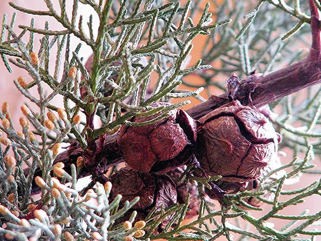 Кипарис вічнозелений / Cupressus sempervirens