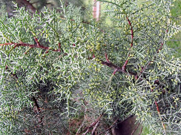 Кипарис кашмірський / Cupressus cashmeriana