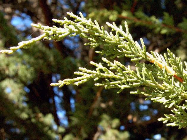 Кипарис великоплідний / Cupressus macrocarpa
