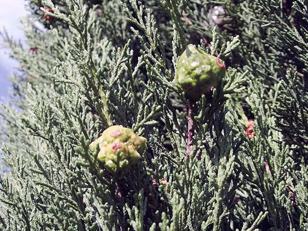 Рослина кипарис