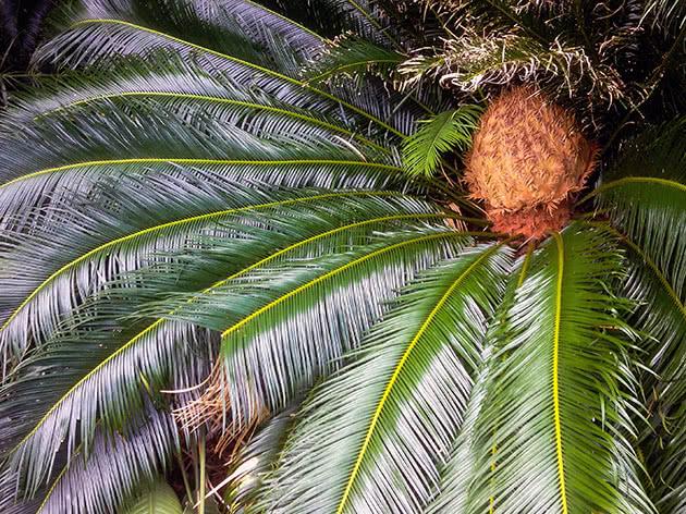 Дерево цикас