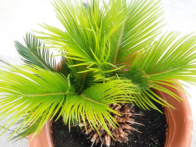 Кімнатна пальма цикас