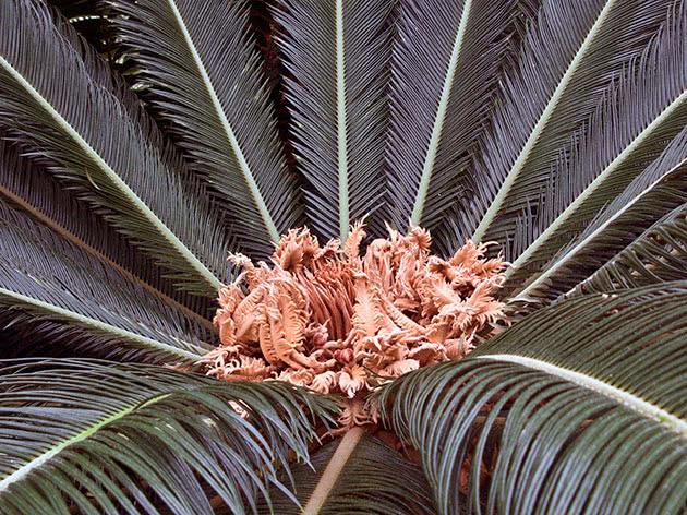 Кімнатна рослина цикас