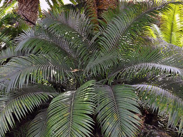 Цикас завитий, або цикас равликоподібний / Cycas circinalis = Cycas neocaledonica