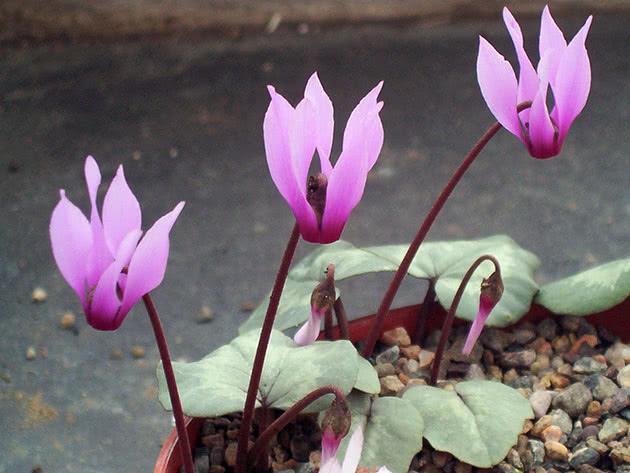 Растение цикламен