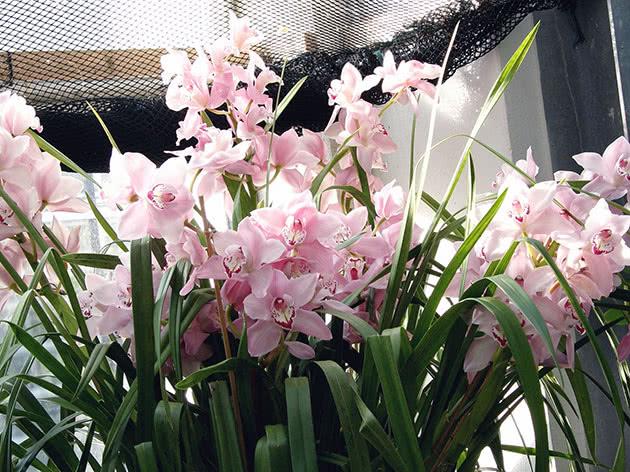 Рожевий цимбідіум