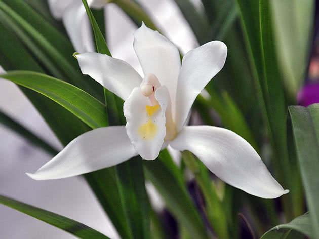 Цимбідіум жовтувато-білий / Cymbidium eburneum