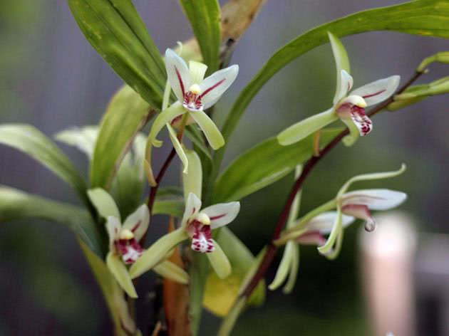 Цимбідіум ланцетолистий / Cymbidium lancifolium