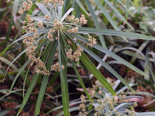 Циперус очереднолистный / Cyperus alternifolius