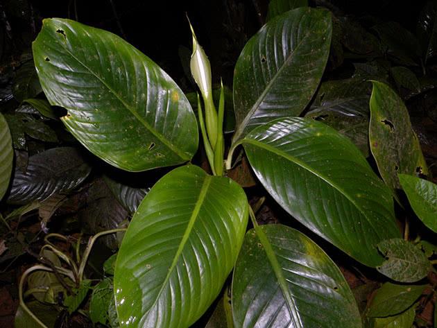 Темно-зелена дифенбахія
